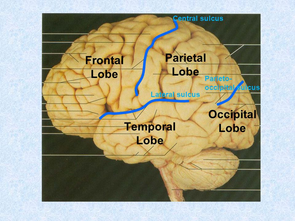 Frontal Lobe Parietal Lobe Occipital Lobe Temporal Lobe Central sulcus Parieto- occipital sulcus Lateral sulcus