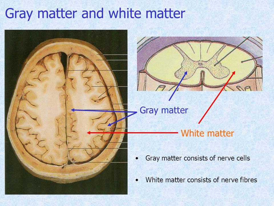 Gray matter and white matter Gray matter White matter Gray matter consists of nerve cells White matter consists of nerve fibres