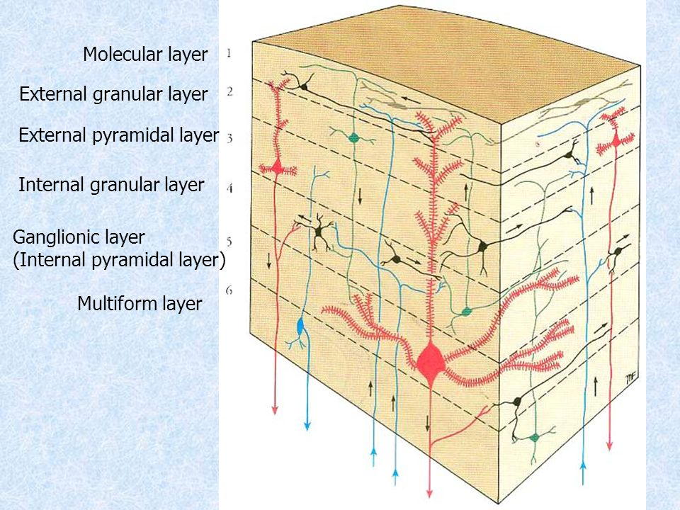 Molecular layer External granular layer External pyramidal layer Internal granular layer Ganglionic layer (Internal pyramidal layer) Multiform layer
