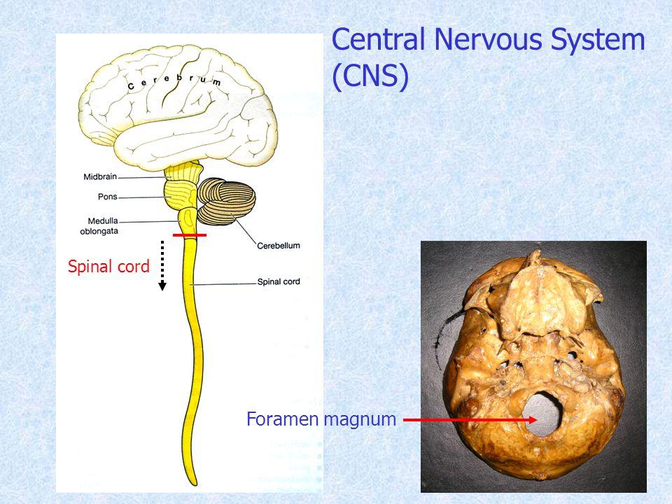 Spinal cord Foramen magnum Central Nervous System (CNS)