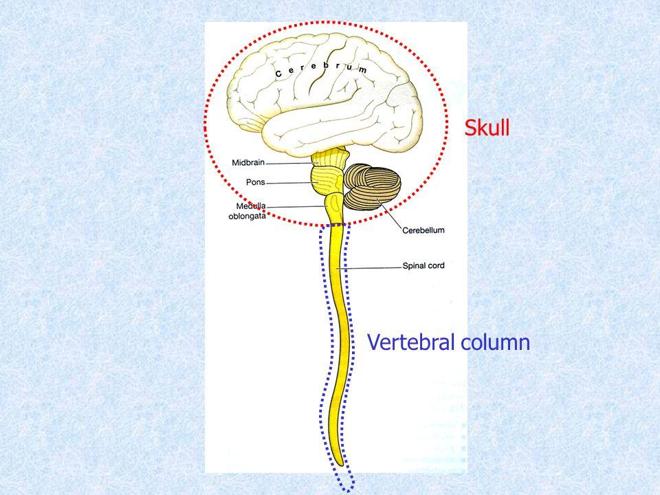 Skull Vertebral column