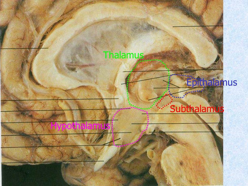 Thalamus Hypothalamus Epithalamus Subthalamus