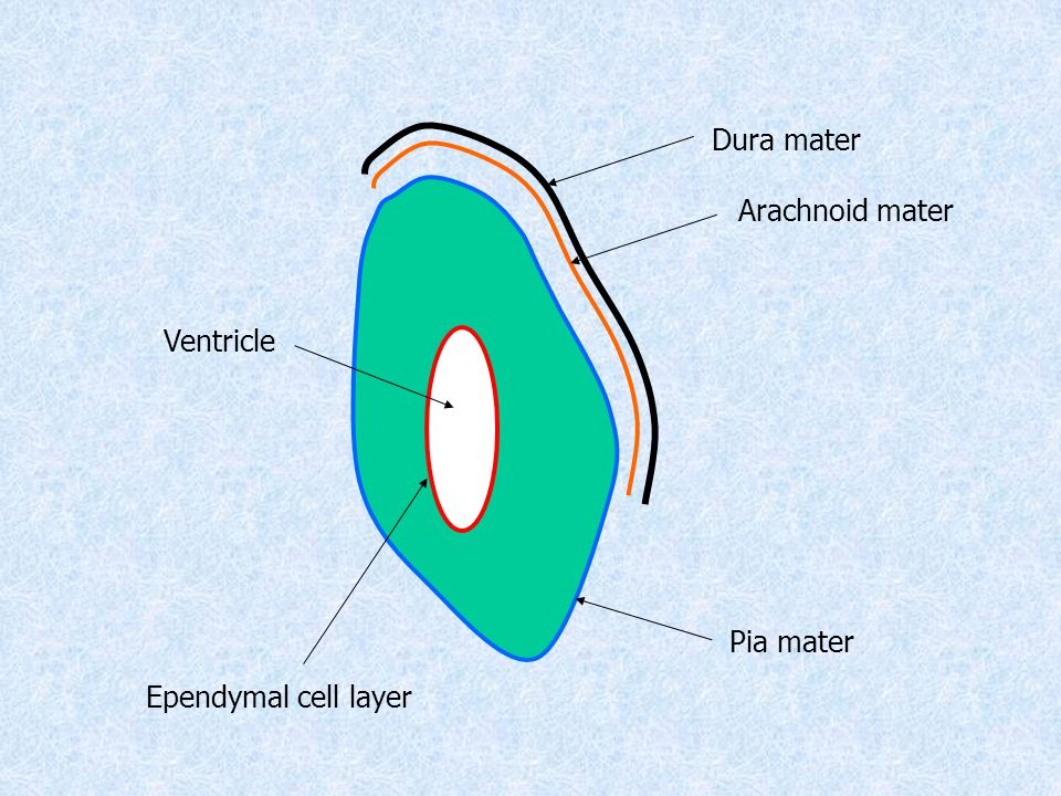 Dura mater Arachnoid mater Pia mater Ependymal cell layer Ventricle