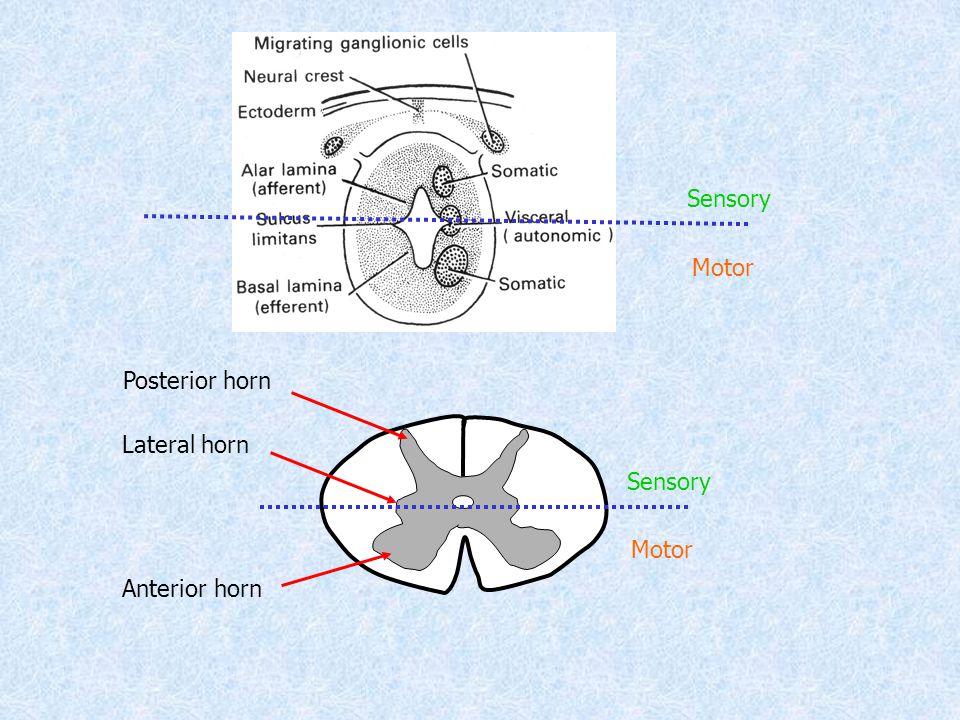 Posterior horn Lateral horn Anterior horn Motor Sensory Motor Sensory