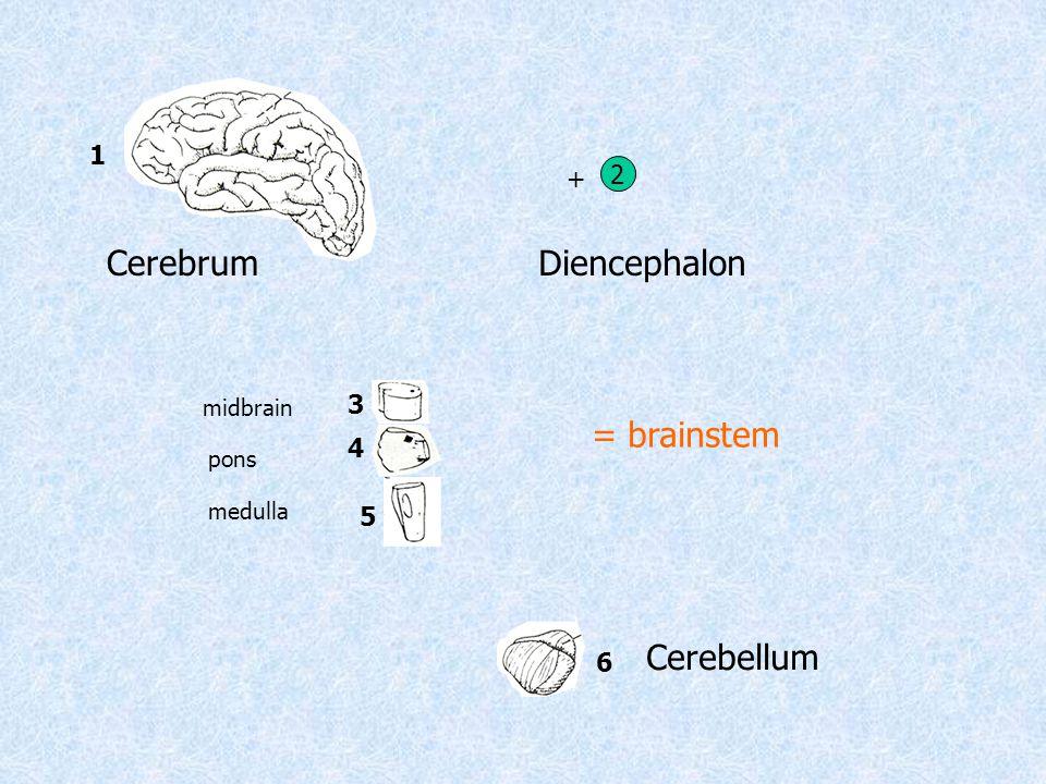 1 6 Diencephalon 2 + Cerebellum 43 5 = brainstem midbrain pons medulla Cerebrum