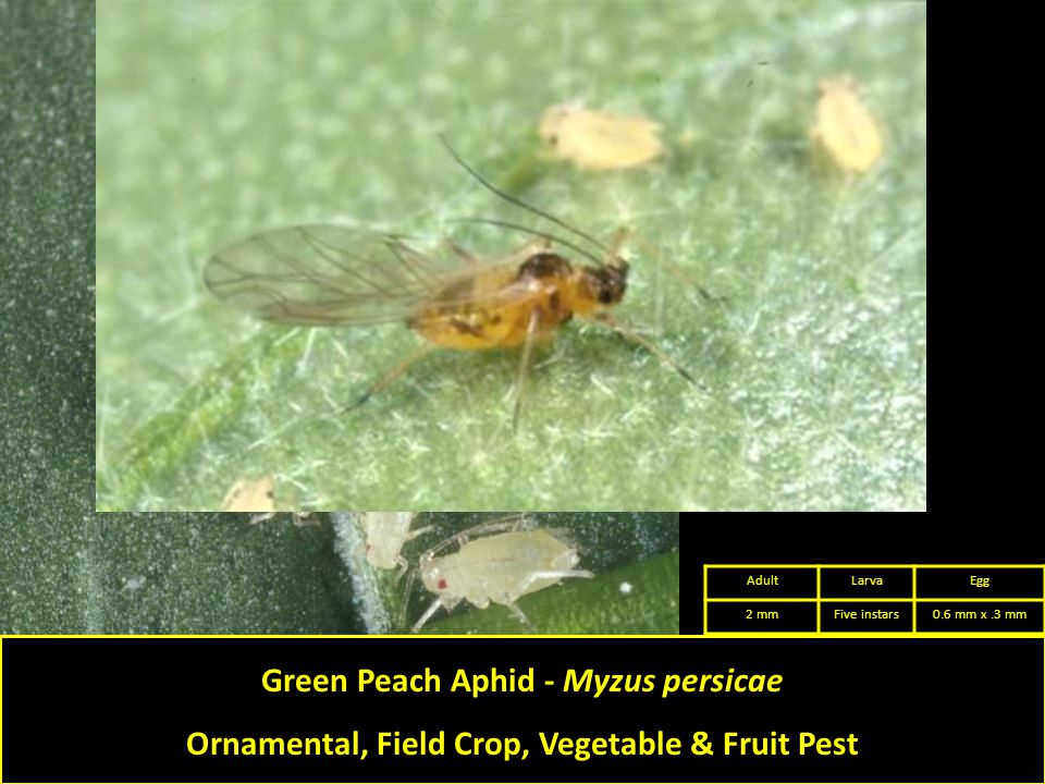 Green Peach Aphid - Myzus persicae Ornamental, Field Crop, Vegetable & Fruit Pest AdultLarvaEgg 2 mmFive instars0.6 mm x.3 mm