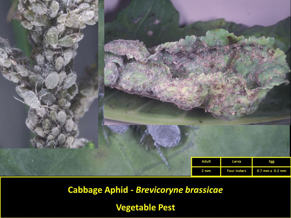 Cabbage Aphid - Brevicoryne brassicae Vegetable Pest AdultLarvaEgg 2 mmFour instars0.7 mm x 0.2 mm