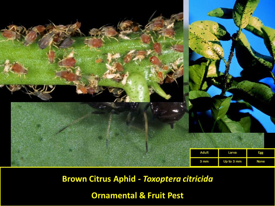 Brown Citrus Aphid - Toxoptera citricida Ornamental & Fruit Pest AdultLarvaEgg 3 mmUp to 3 mmNone