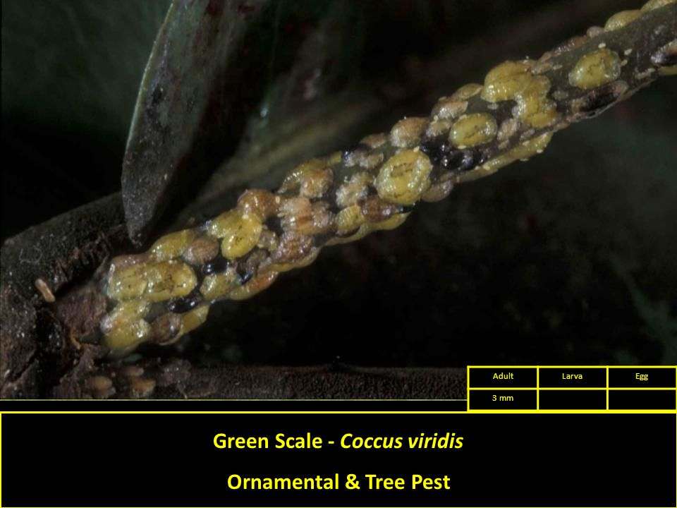 Green Scale - Coccus viridis Ornamental & Tree Pest AdultLarvaEgg 3 mm