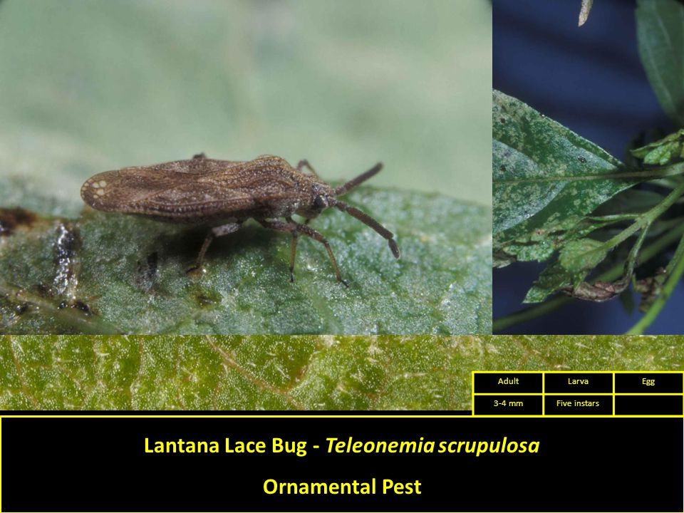 Lantana Lace Bug - Teleonemia scrupulosa Ornamental Pest AdultLarvaEgg 3-4 mmFive instars