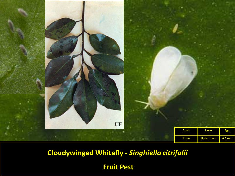 Cloudywinged Whitefly - Singhiella citrifolii Fruit Pest AdultLarvaEgg 1 mmUp to 1 mm0.3 mm
