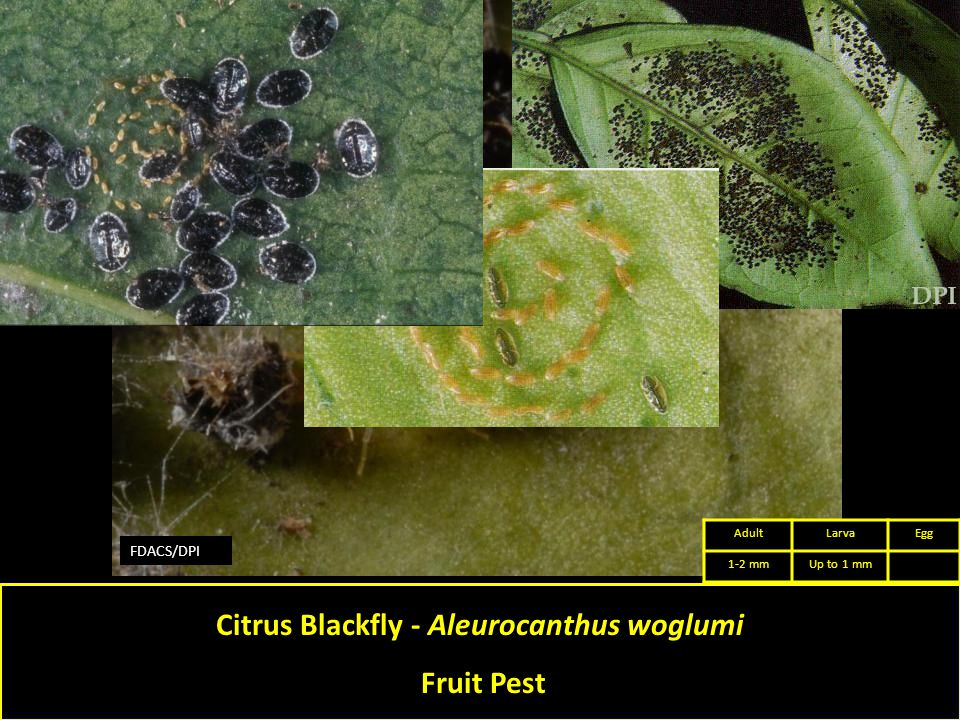 FDACS/DPI Citrus Blackfly - Aleurocanthus woglumi Fruit Pest AdultLarvaEgg 1-2 mmUp to 1 mm