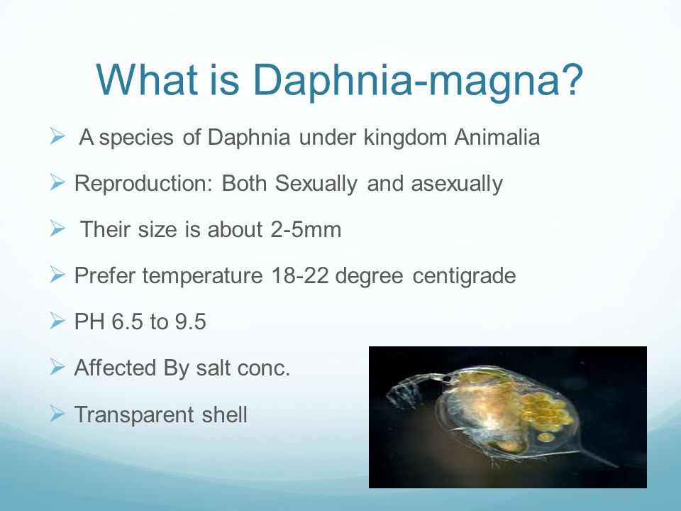 What is Daphnia-magna.