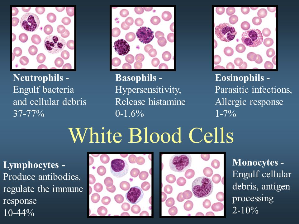 White Blood Cells Neutrophils - Engulf bacteria and cellular debris 37-77% Basophils - Hypersensitivity, Release histamine 0-1.6% Eosinophils - Parasitic infections, Allergic response 1-7% Lymphocytes - Produce antibodies, regulate the immune response 10-44% Monocytes - Engulf cellular debris, antigen processing 2-10%