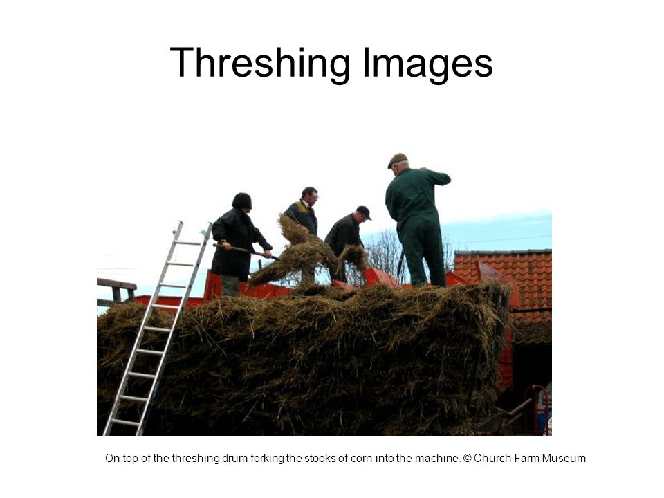 Threshing Images On top of the threshing drum forking the stooks of corn into the machine.