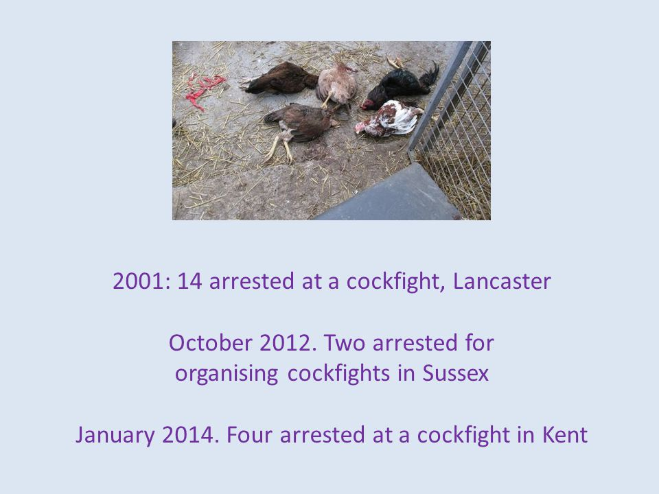 2001: 14 arrested at a cockfight, Lancaster October 2012.