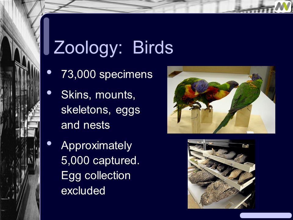 Zoology: Birds 73,000 specimens Skins, mounts, skeletons, eggs and nests Approximately 5,000 captured.
