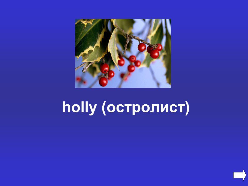 holly (остролист)
