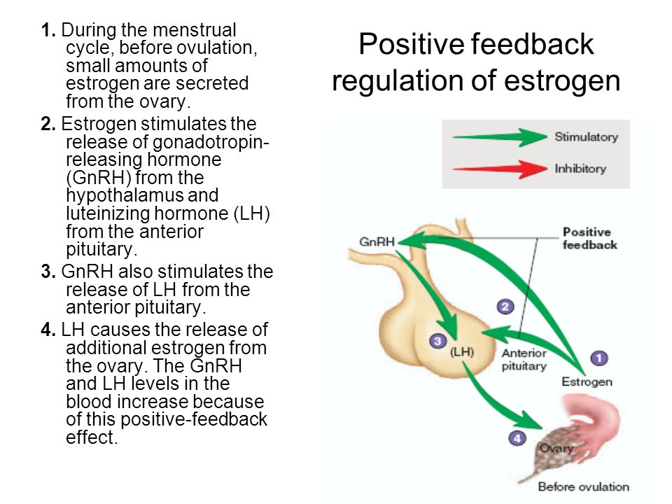 Positive feedback regulation of estrogen 1. During the menstrual cycle, before ovulation, small amounts of estrogen are secreted from the ovary. 2. Es