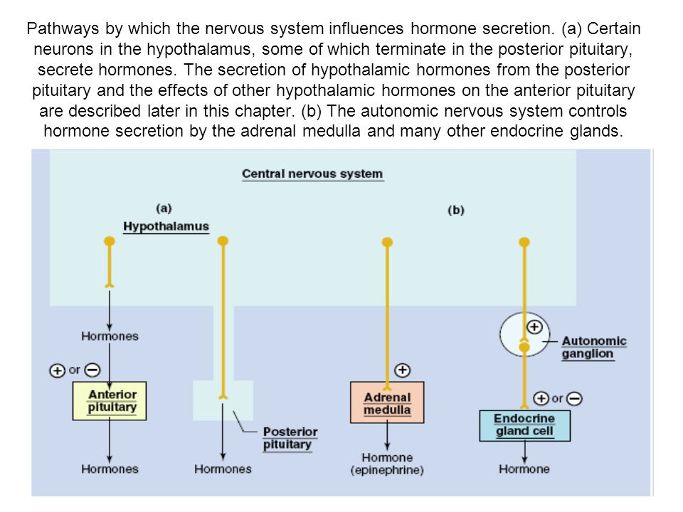 Pathways by which the nervous system influences hormone secretion. (a) Certain neurons in the hypothalamus, some of which terminate in the posterior p