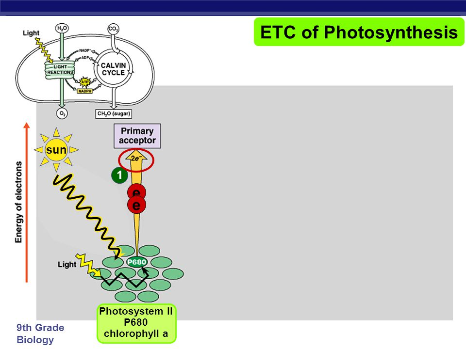 9th Grade Biology ETC of Photosynthesis Photosystem IIPhotosystem I chlorophyll a chlorophyll b