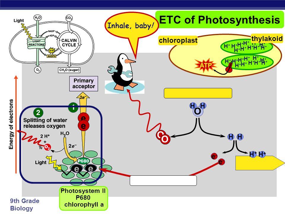 9th Grade Biology 1 ETC of Photosynthesis e e sun Photosystem II P680 chlorophyll a