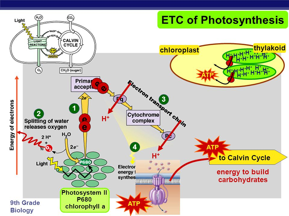 9th Grade Biology 1 2 ETC of Photosynthesis Photosystem II P680 chlorophyll a O HH H H Inhale, baby! e e e e e-e- e-e- H+H+ H+H+ H+H+ H+H+ H+H+ H+H+ H