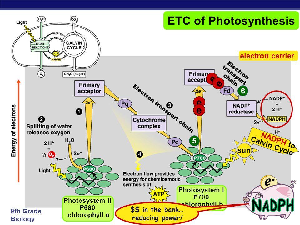9th Grade Biology e e e e sun 5 Photosystem II P680 chlorophyll a Photosystem I P700 chlorophyll b e e ETC of Photosynthesis e e fill the e – vacancy