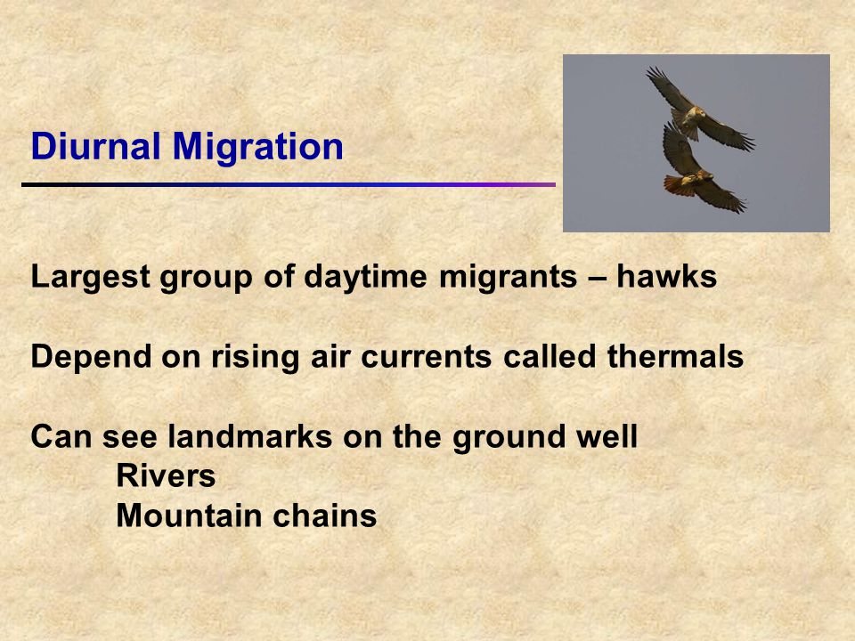 Largest group of daytime migrants – hawks Depend on rising air currents called thermals Can see landmarks on the ground well Rivers Mountain chains Diurnal Migration