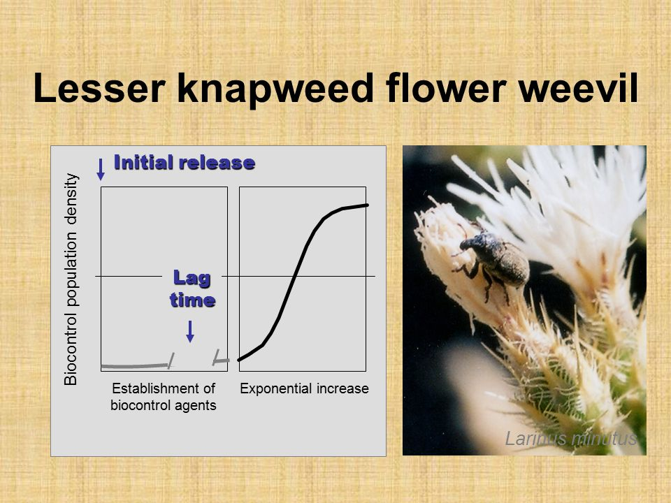 Lesser knapweed flower weevil Biocontrol population density Exponential increaseEstablishment of biocontrol agents Initial release Lagtime Larinus minutus
