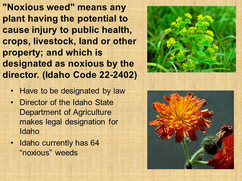 Have to be designated by law Director of the Idaho State Department of Agriculture makes legal designation for Idaho Idaho currently has 64 noxious weeds Noxious weed means any plant having the potential to cause injury to public health, crops, livestock, land or other property; and which is designated as noxious by the director.