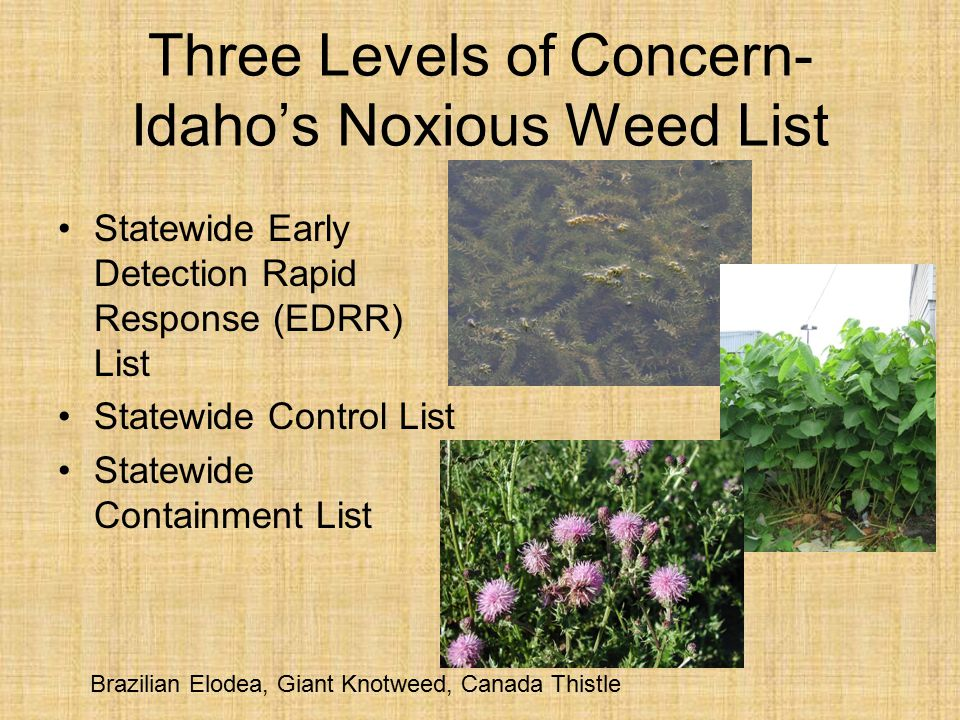 Three Levels of Concern- Idaho's Noxious Weed List Statewide Early Detection Rapid Response (EDRR) List Statewide Control List Statewide Containment List Brazilian Elodea, Giant Knotweed, Canada Thistle