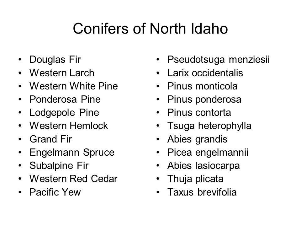 Conifers of North Idaho Douglas Fir Western Larch Western White Pine Ponderosa Pine Lodgepole Pine Western Hemlock Grand Fir Engelmann Spruce Subalpin