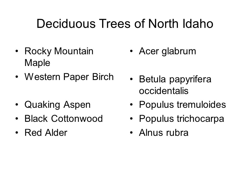 Deciduous Trees of North Idaho Rocky Mountain Maple Western Paper Birch Quaking Aspen Black Cottonwood Red Alder Acer glabrum Betula papyrifera occidentalis Populus tremuloides Populus trichocarpa Alnus rubra