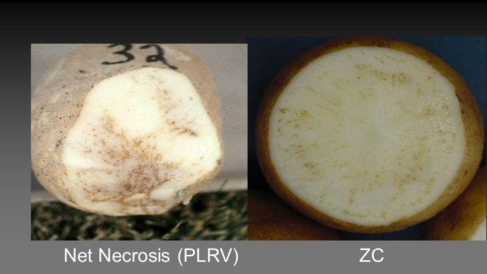 Net Necrosis (PLRV) ZC