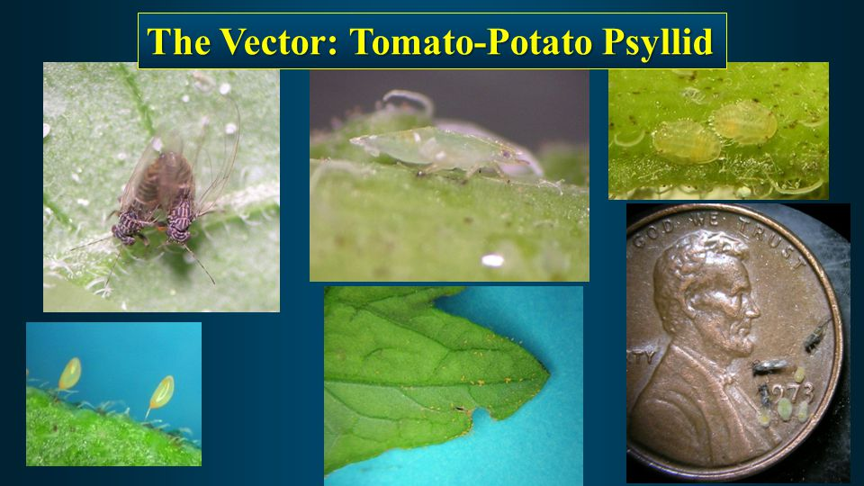 The Vector: Tomato-Potato Psyllid