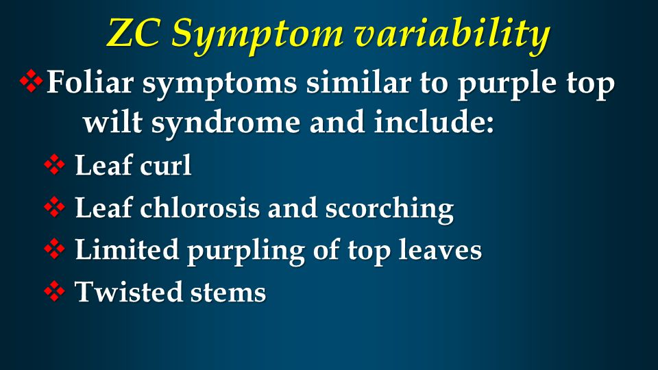 ZC Symptom variability  Foliar symptoms similar to purple top wilt syndrome and include:  Leaf curl  Leaf chlorosis and scorching  Limited purplin