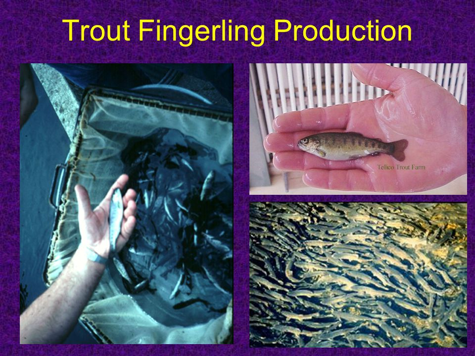 Trout Fingerling Production