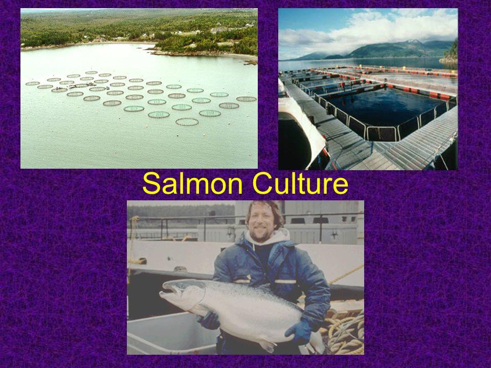 Salmon Culture