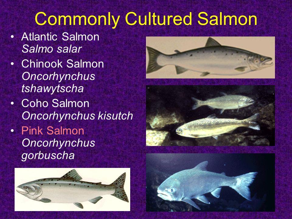 Commonly Cultured Salmon Atlantic Salmon Salmo salar Chinook Salmon Oncorhynchus tshawytscha Coho Salmon Oncorhynchus kisutch Pink Salmon Oncorhynchus