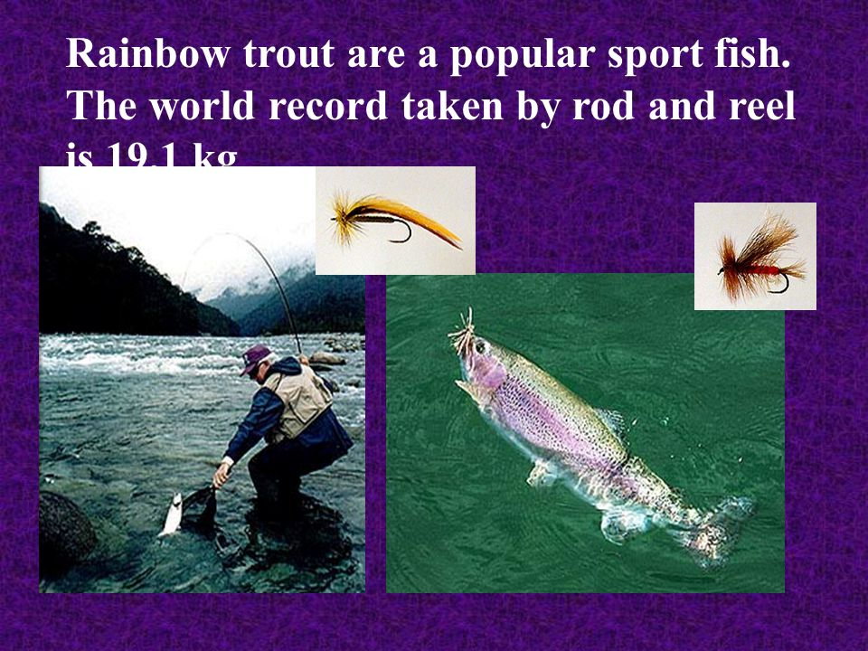 Rainbow trout are a popular sport fish. The world record taken by rod and reel is 19.1 kg