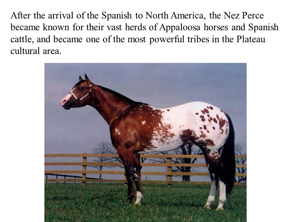 After the arrival of the Spanish to North America, the Nez Perce became known for their vast herds of Appaloosa horses and Spanish cattle, and became one of the most powerful tribes in the Plateau cultural area.