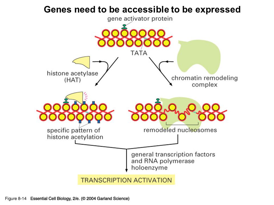 08_14_chromatin.struc.jpg Genes need to be accessible to be expressed