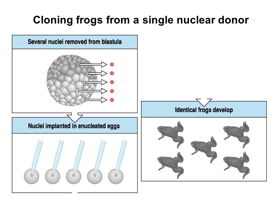 Cloning frogs from a single nuclear donor