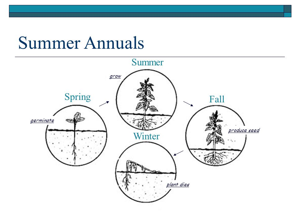 Summer Annuals Summer Fall Winter Spring produce seed plant dies germinate grow