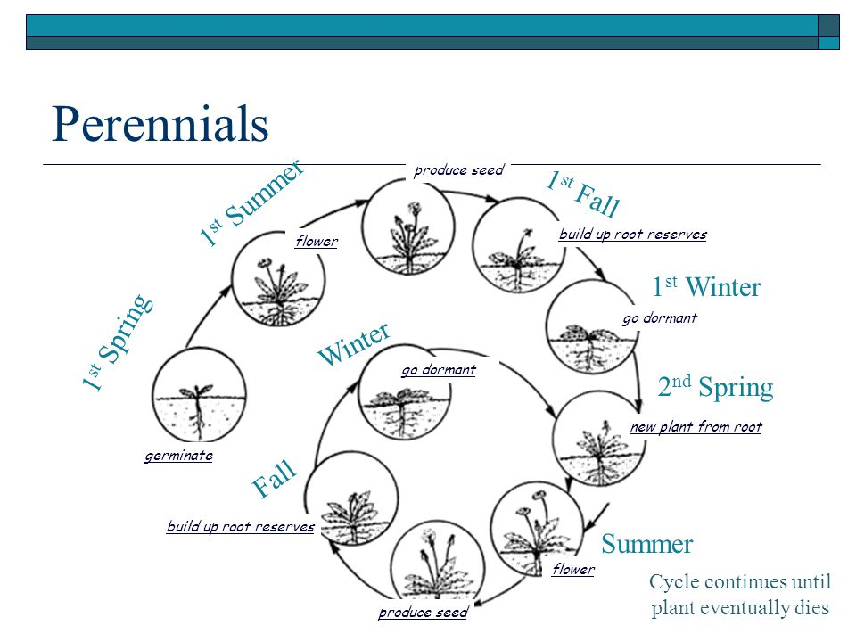 Perennials Cycle continues until plant eventually dies 1 st Spring 1 st Summer 1 st Fall 1 st Winter 2 nd Spring Summer Fall Winter build up root reserves go dormant new plant from root go dormant produce seed flower germinate flower produce seed build up root reserves