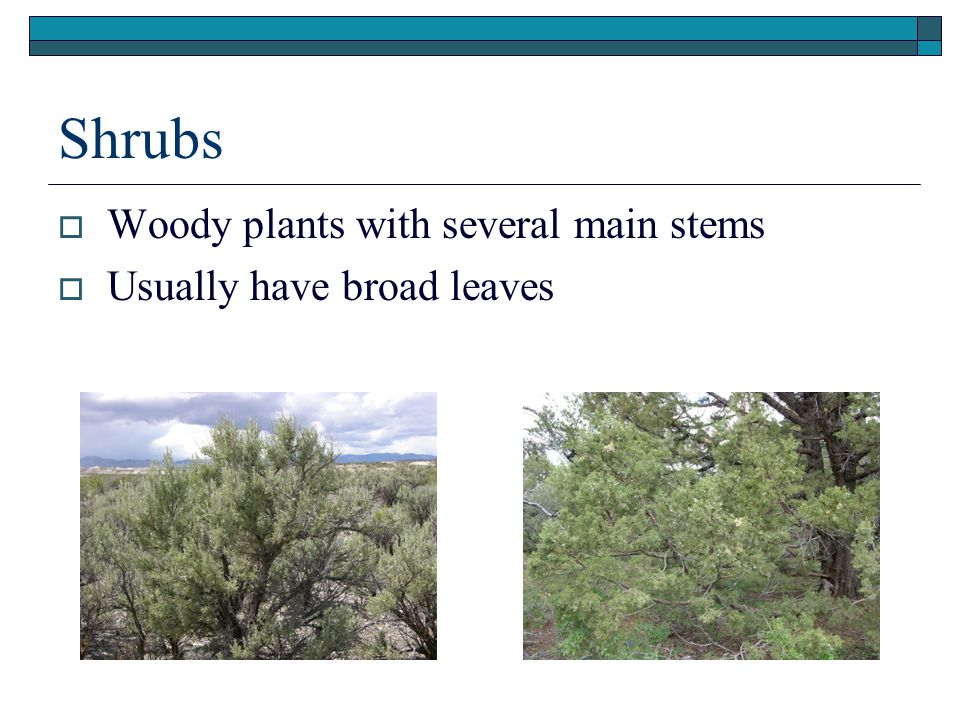 Shrubs  Woody plants with several main stems  Usually have broad leaves