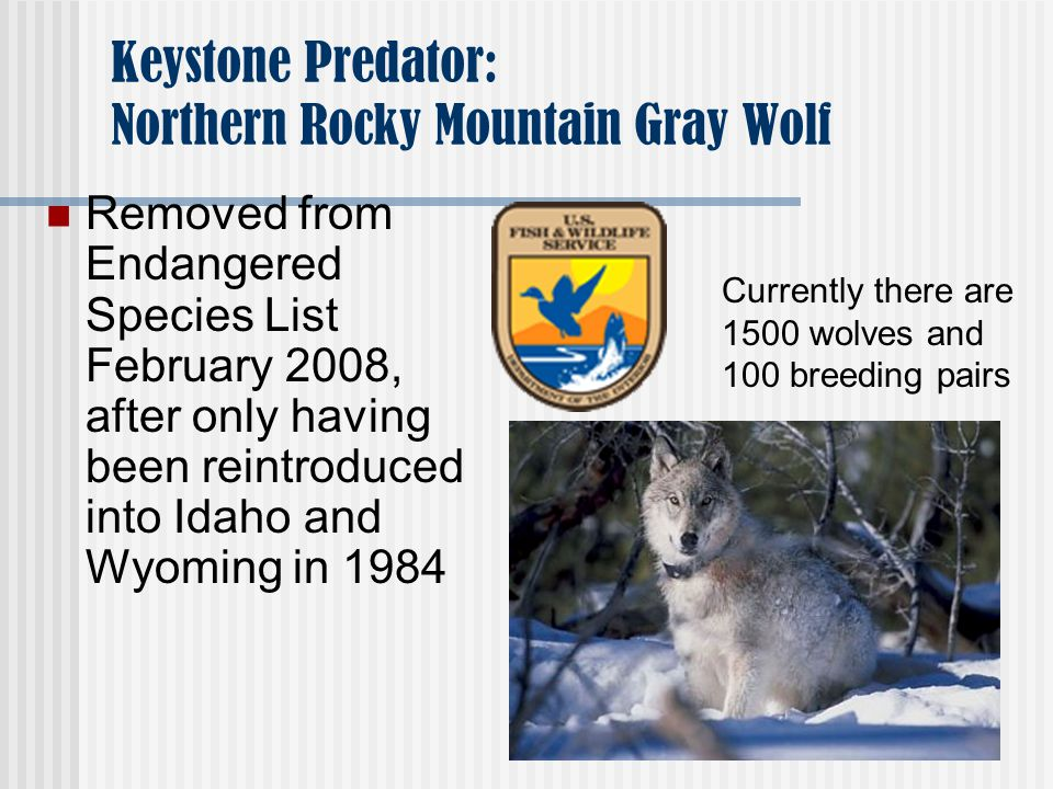 Keystone Predator: Northern Rocky Mountain Gray Wolf Removed from Endangered Species List February 2008, after only having been reintroduced into Idaho and Wyoming in 1984 Currently there are 1500 wolves and 100 breeding pairs