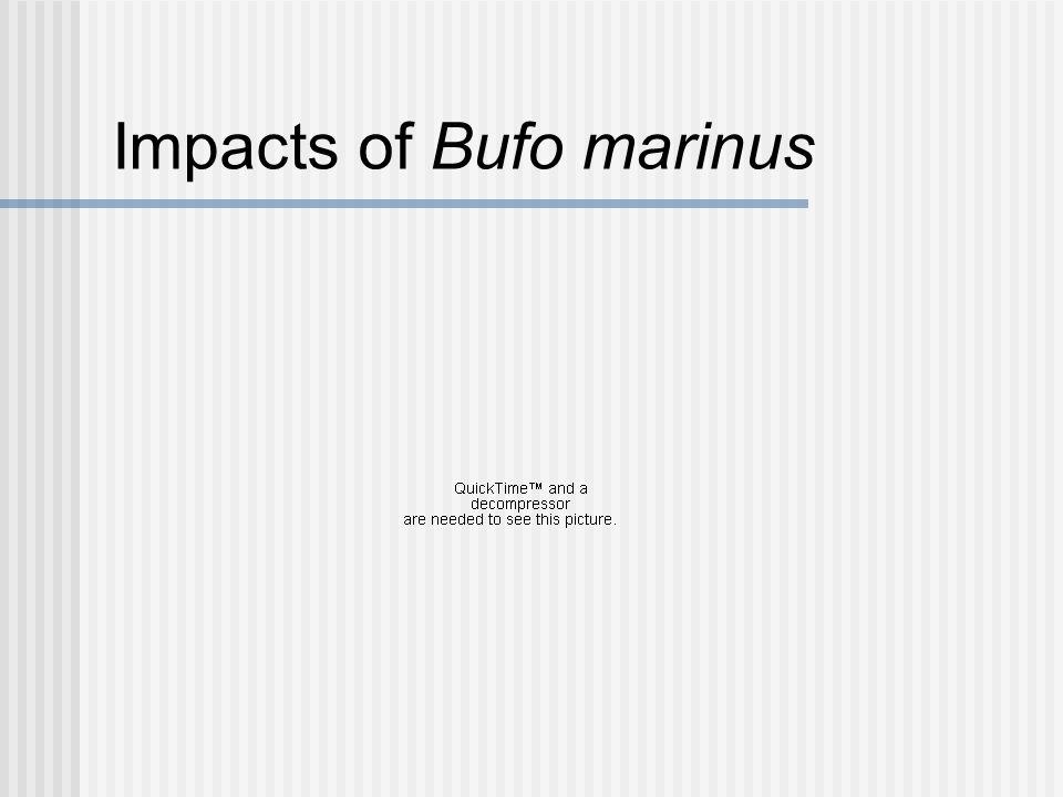 Impact of Bufo marinus Since toxins do not leach in lethal quantities from B.