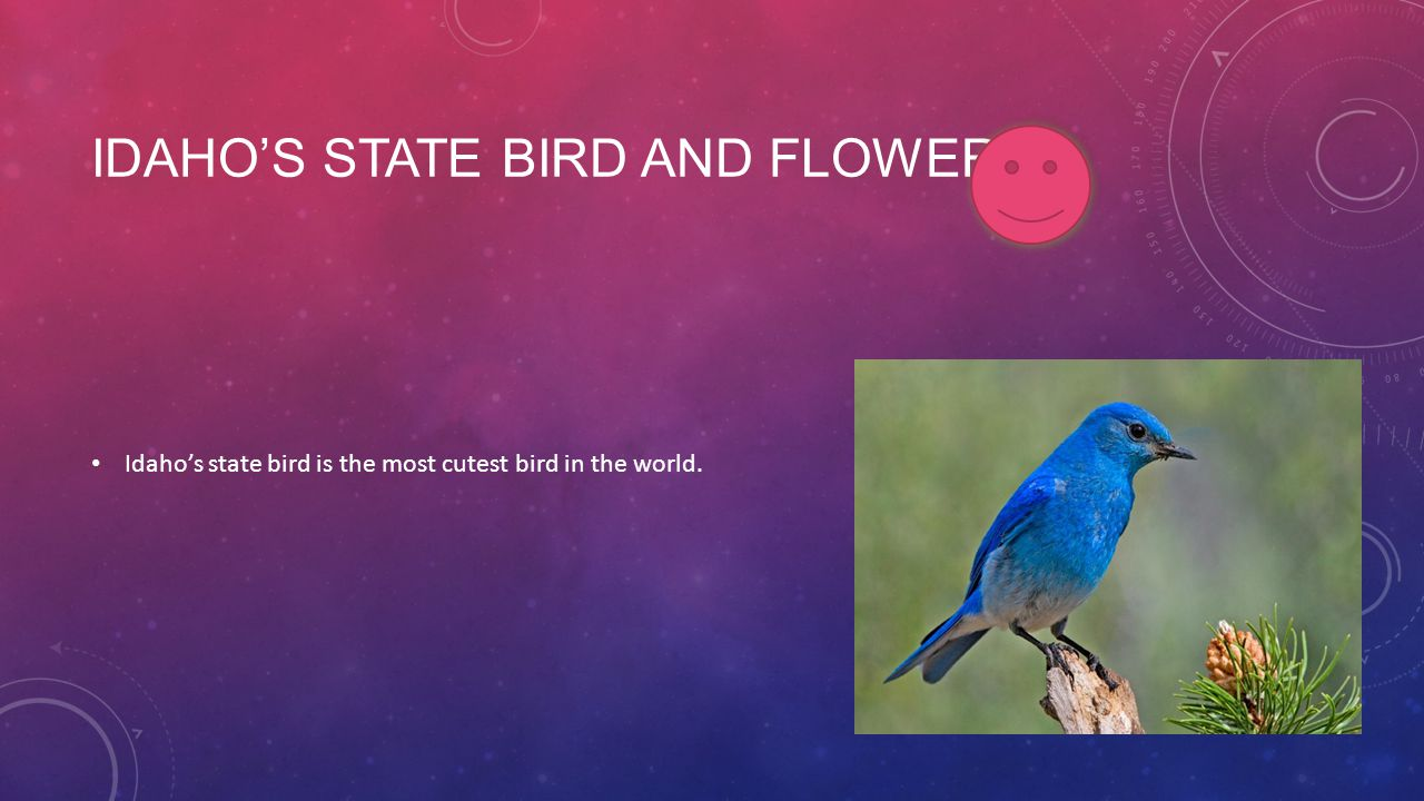 IDAHO'S STATE BIRD AND FLOWER Idaho's state bird is the most cutest bird in the world.